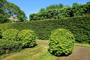 trimmed circular pushes in front of rectangular trimmed bushes